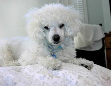 A white blind & deaf dog sits happily on a bed.