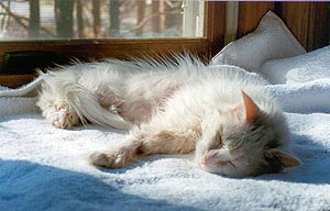 June is resting in one of her favorite places, a window-seat. She's a white cat, extremely thin because of her medical problems and difficulties surviving on her own outdoors. The sun is shining on her, warming her.