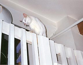 Snow is fearlessly walking on a narrow railing. She's found a way to jump straight up 5 feet from a loft onto the railing. On the other side of the railing it is 20 feet to the floor. She never fell.