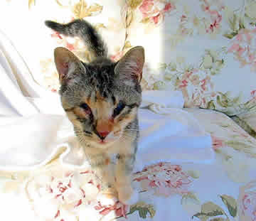 A small kitten is standing on a couch, looking at the camera.