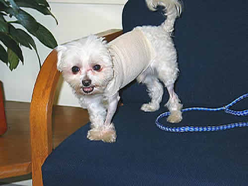A little white dog, with a cotton pad covering his surgical staples, stands smiling at the camera.