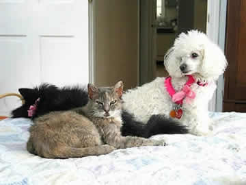 A white blind & deaf dog is sitting on the bed with a black blind & partially deaf dog with an autoimmune disease and an elderly cat with a neurological disorder.